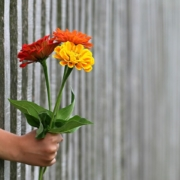 child's hand holding colorful flowers through a wooden fence