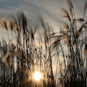 sun low in the sky, shining through tall wild grass