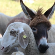 sheep with a young donkey - one of the sheep and the donkey with necks intertwined
