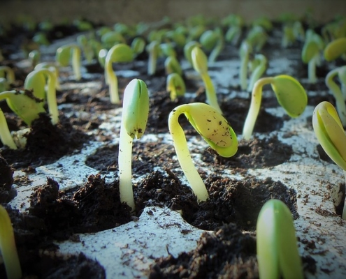 soybean seedlings growing out of gardening soil